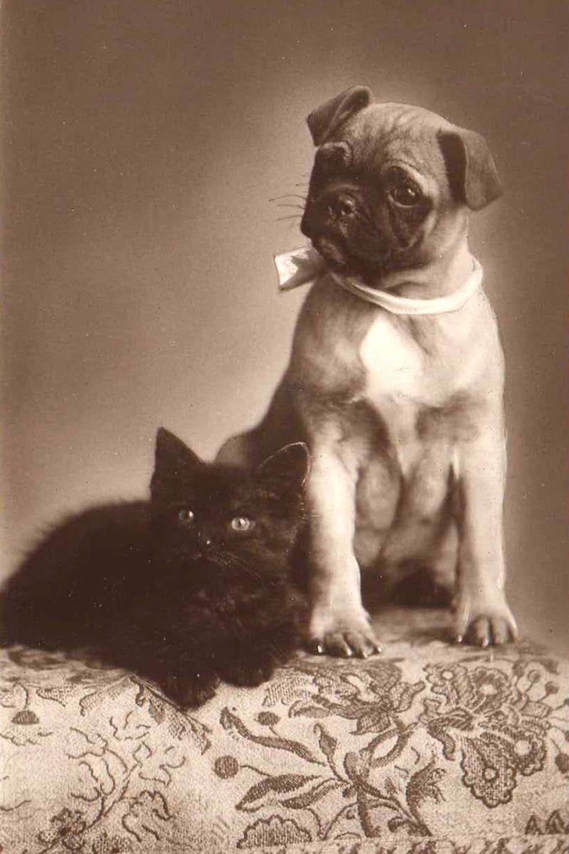 Pug Dog Kitten 1910 Photograph Pug Dog Dogs