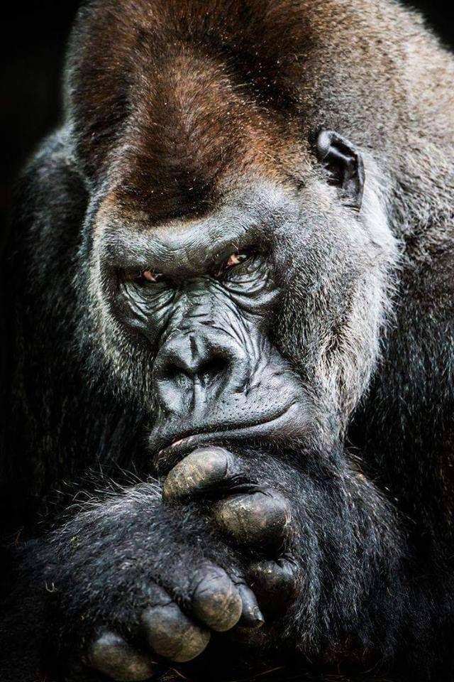 gorilla wallpaper on pinterest