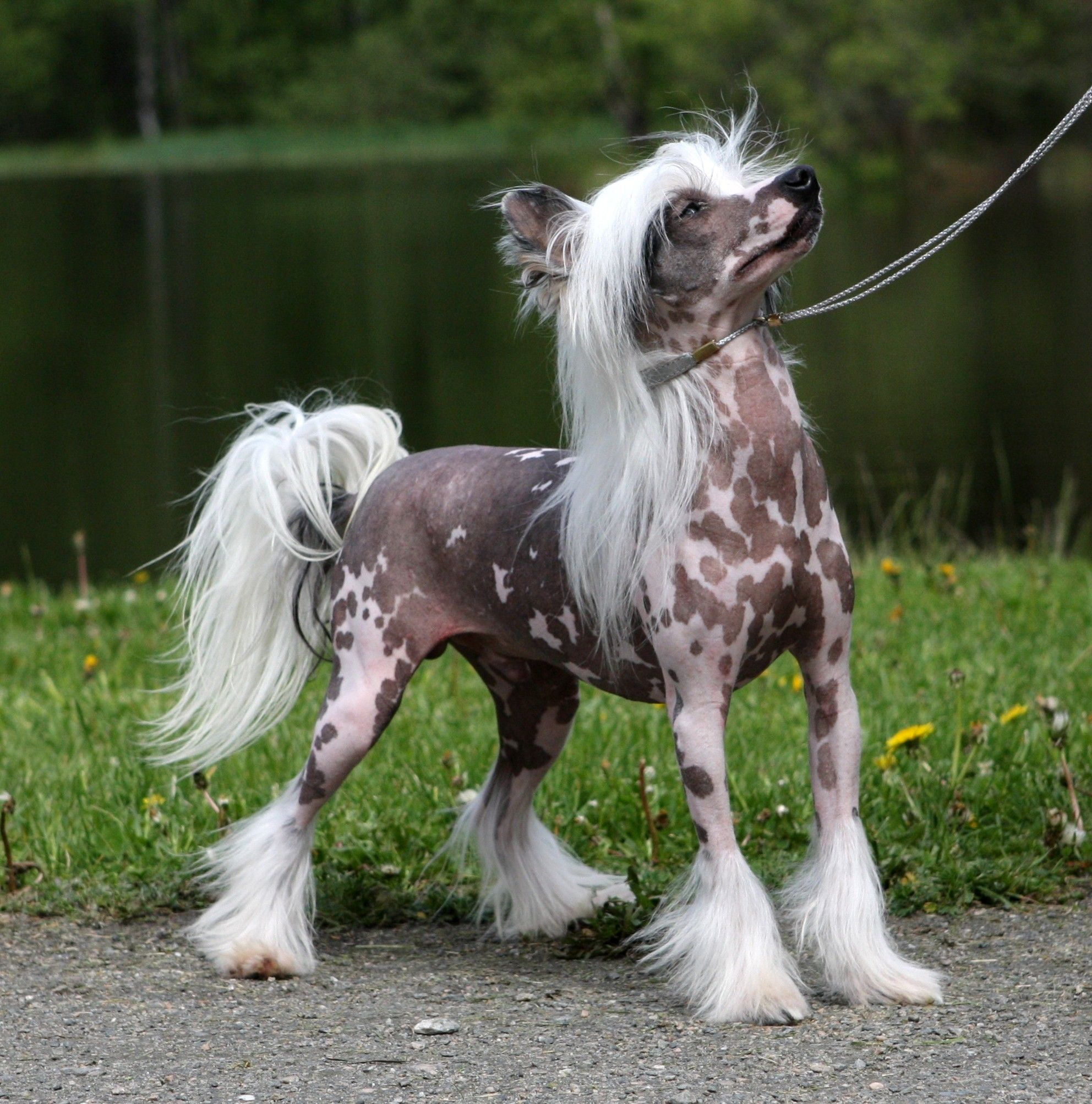 Chinese Crested Dog, Chinese Crested