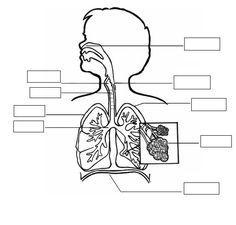Aparato Respiratorio Para Ninos De Primaria Buscar Con Google Sistema Respiratorio Para Colorear Imagenes Del Aparato Respiratorio Sistema Respiratorio