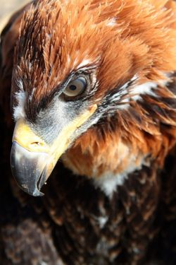 Wedge Tailed Eagle (photo by daisy alexander).