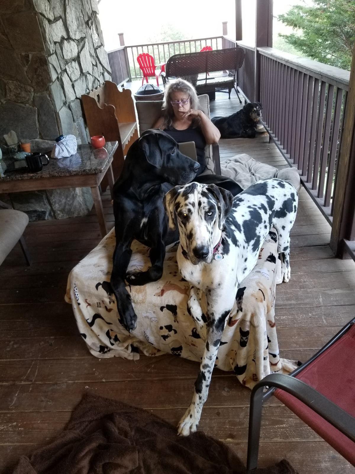 Zeus And Harlee Great Dane Big Dogs Dane
