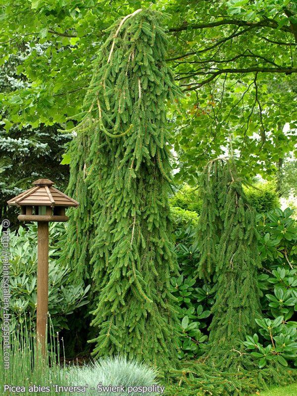 Picea Abies Inversa świerk Pospolity Odm Inversa Trees