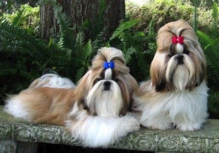 Breed Spotlight Review Shih Tzu Please Subscribe Under The Title