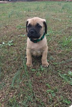 Bullmastiff Puppy For Sale In Greenville Sc Adn 56413 On