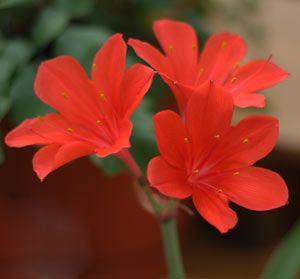 Summer Flowering Bulbs Nurseries Online Uk