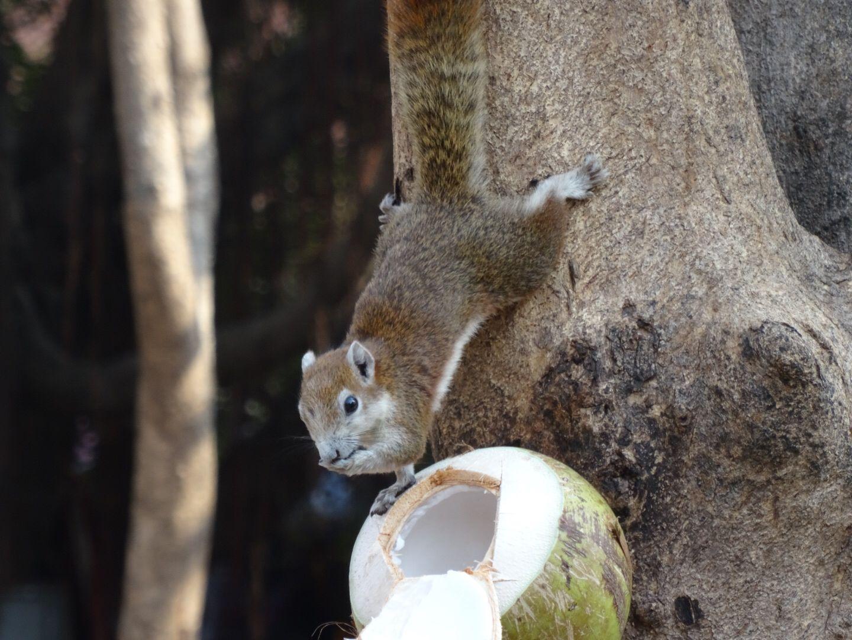 Squirrel écureuil Thaïlande