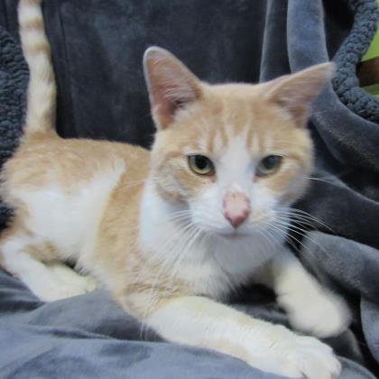 Adopt Norman On Feline Leukemia Pet Adoption Humane Society