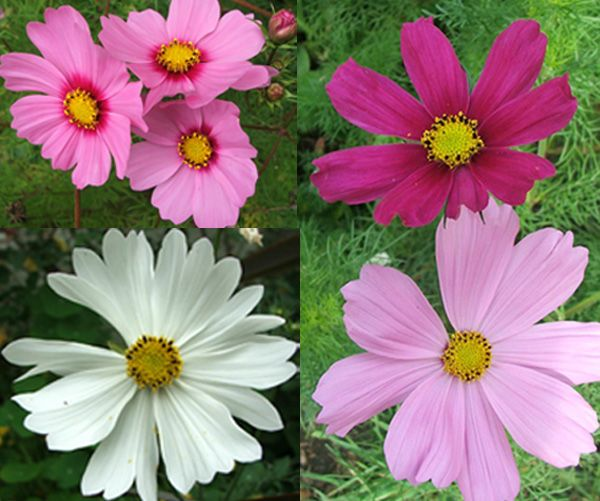 Perennial Flowers Such As Cosmos Grow From Seed Bloom Set Seed