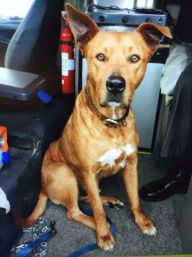 Lost Injured Tan Staffy X Kelpie Dog Billy Winstonhills Nsw 2146 Losing A Dog Dogs Help
