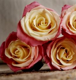 Preserved Roses Natural Bi-color Yellow & Pink (9 rose heads)