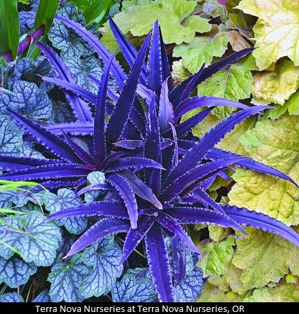 """Eucomis 'Dark Star' - zone 7-9 - resembles dwarf purple stars in the garden. The tiny 10"""" tall x 14"""" wide clump of narrow, dark purple fleshy leaves lay out at ground level and are topped with a short 10"""" spike of pinkish pineapple-like flowers in midsummer"""