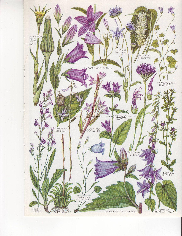 Vintage Botanical Print Wildflower Chart Book Illustration To Frame British Flowers Canterbury Bell Botanical Drawings Flower Illustration Botanical Prints