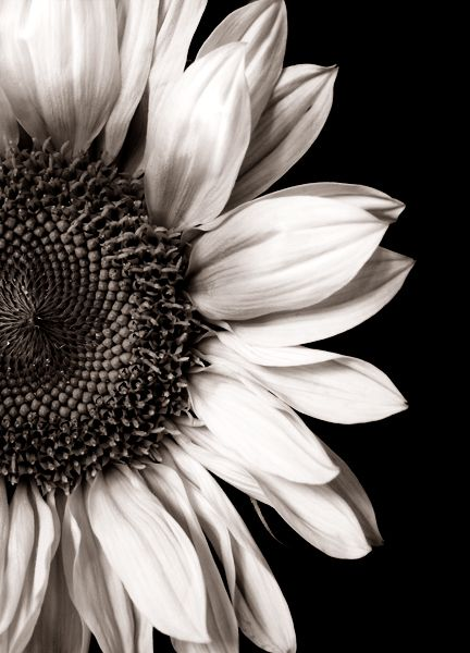Black white sunflower perfect reference for a black and gray sunflower tattoo