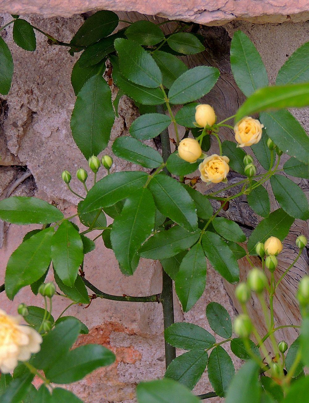 Rosal de Banksia. http://www.elhogarnatural.com/Trepadoras.htm