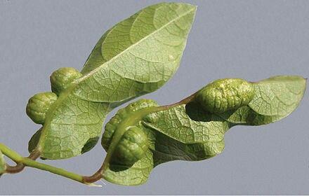 """Se já ouvir a frase """"não confunda alhos com bugalhos"""", saiba que bugalho é uma deformação em plantas, folhas ou galhos causadas por vírus, ácaros ou insetos !"""