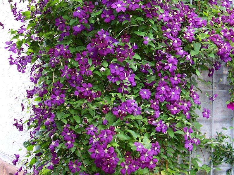 Bloeiende klimplant schaduw