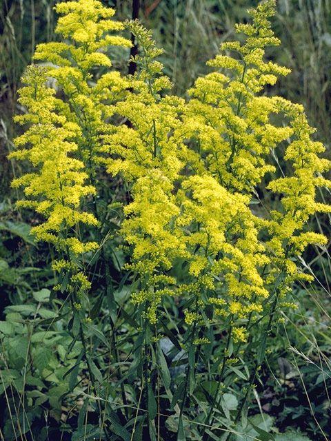 Solidago Ulmifolia Elm Leaf Goldenrod Shade Partial Shade Yellow Perennials Plants Perennials