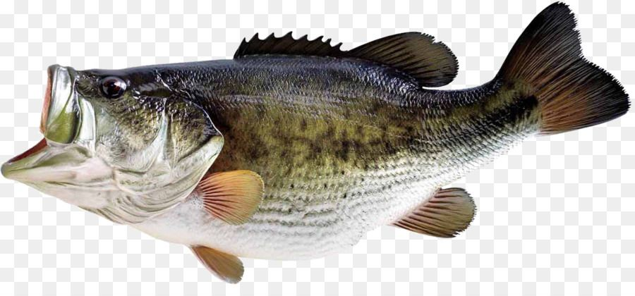 Bass Fishing Largemouth Bass Fish Unlimited Download Kisspng Com Ryba