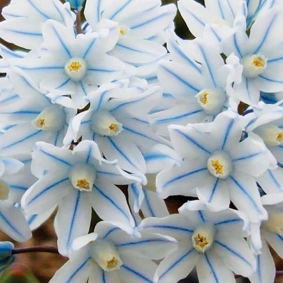 Fragrant blue striped lily puschkinia hardy perennial flower bulbs fragrant blue striped lily puschkinia hardy perennial flower bulbs bloom very early spring sun or shade easy to grow garden plants from mightylinksfo