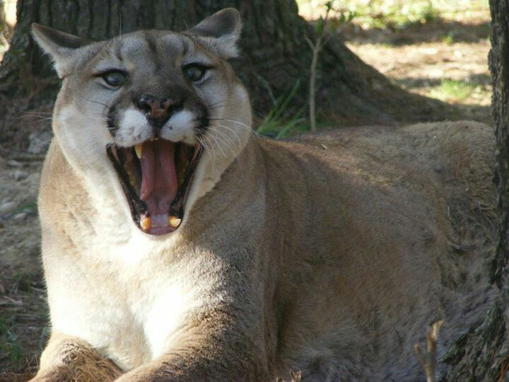 Cougar at BPAS photo by Ambrose Krouse