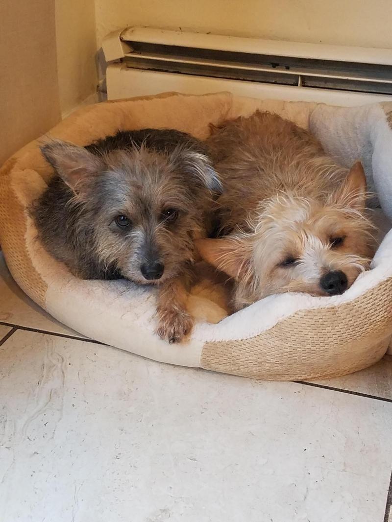 Max (Lil Man) and Ladybug is an adoptable Yorkshire