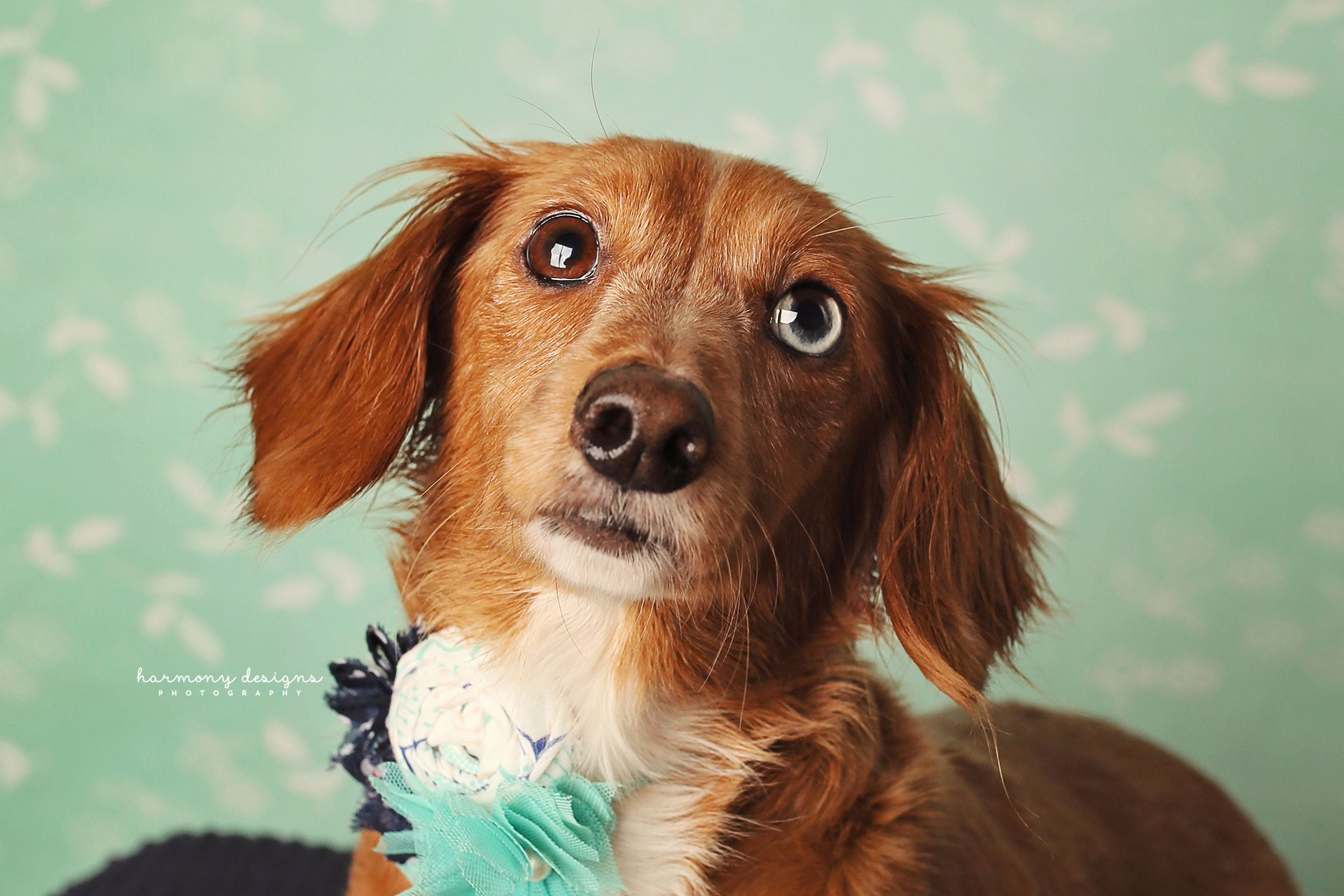 Dachshund dog for Adoption in Nashville, TN. ADN716748 on