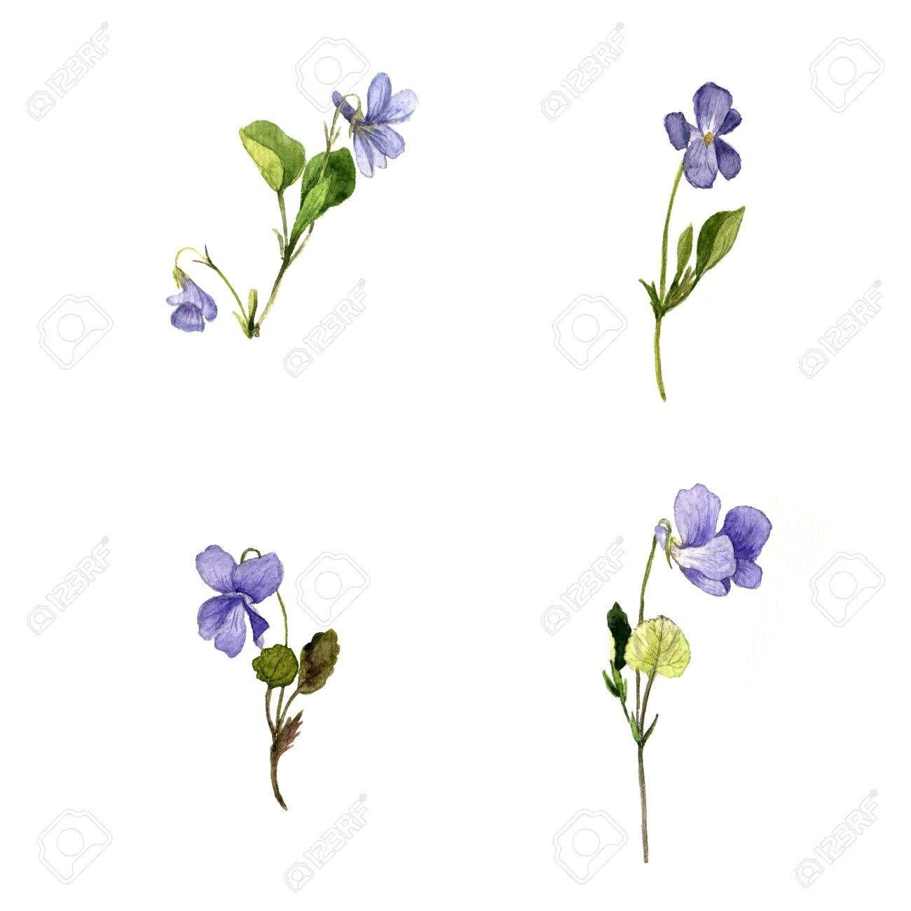 Violet Flower Botanical Drawing Fleurs Sauvages Bleues Dessin Fleur