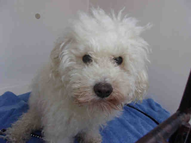 Poodle Miniature Dog For Adoption In Louisville Ky Adn 482980
