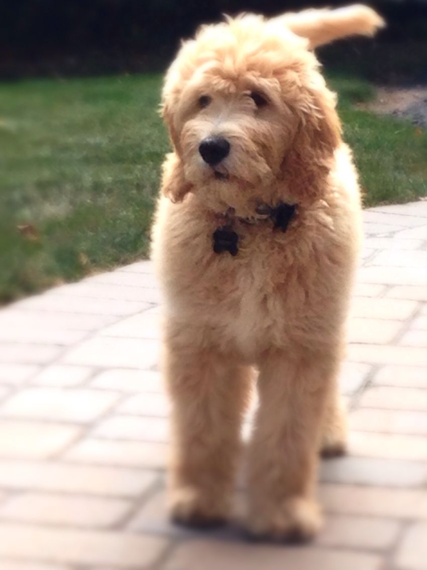 GRYFFIN our 14 week old English Cream doodle <3 | pups