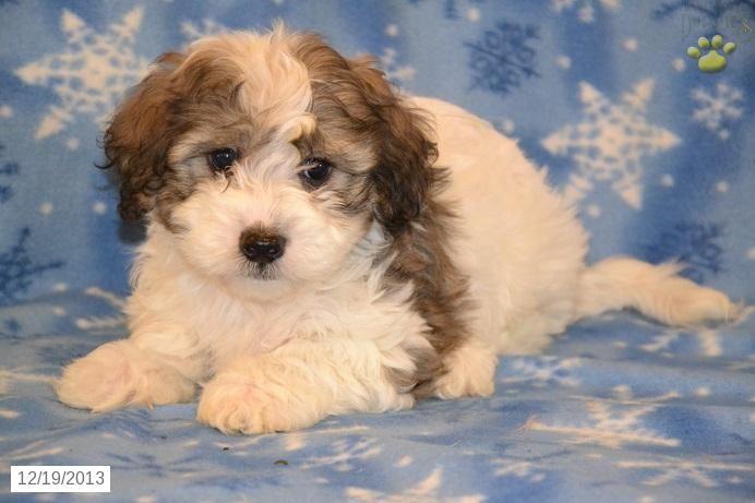 Danny Maltipoo Puppy in Millersburg, OH Maltipoo