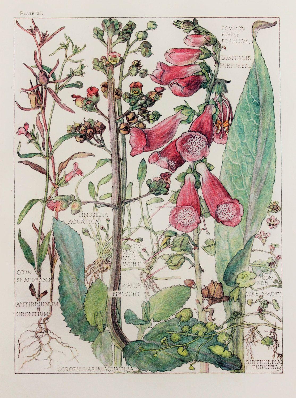 Grabado Botanico 1910 Por H Isabel Adams Por Paperpopinjay Neat