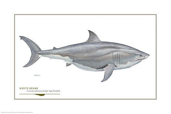 shark great white shark open edition print