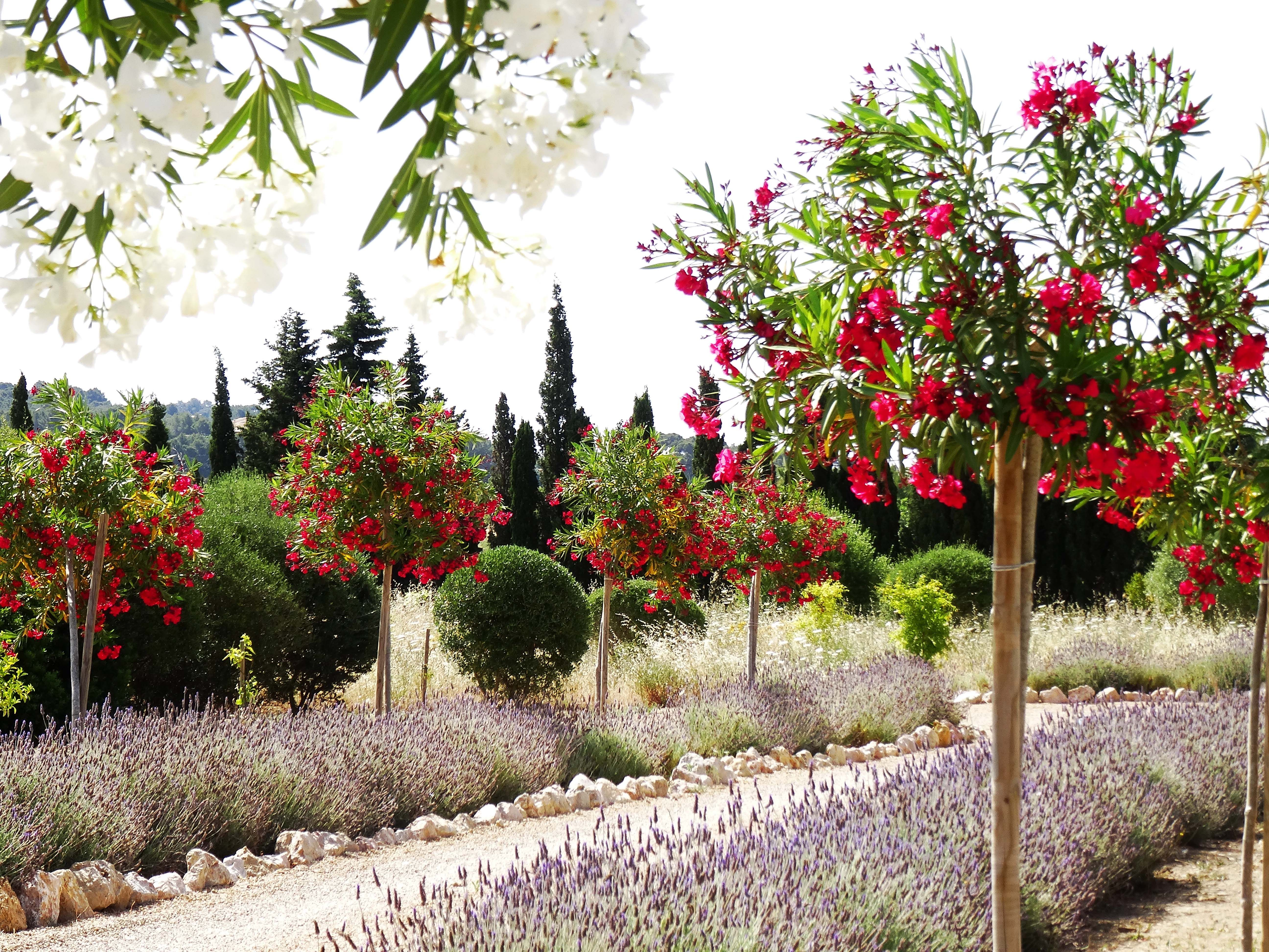 Oleander Trees And Lavender Flank This Rural Driveway Trees To Plant Backyard Landscaping Garden Trees