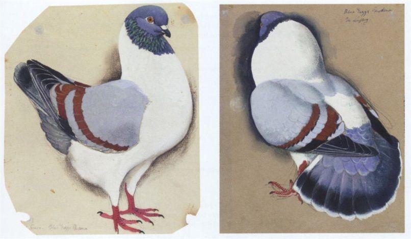 C F Tunnicliffe A Blue Gazzi Modena Pigeon Pet Birds Pigeon Royal College Of Art