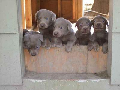 Silver Lab Puppies Lab Puppies Silver Lab Puppies Puppies
