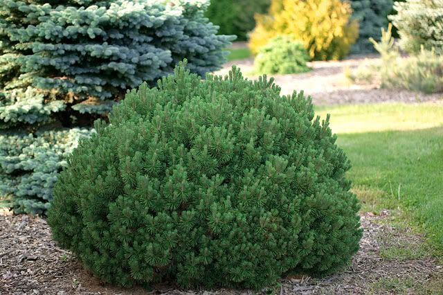Pinus Mugo Mops Photo:  This Photo was uploaded by Cultivar. Find other Pinus Mugo Mops pictures and photos or upload your own with Photobucket free imag...
