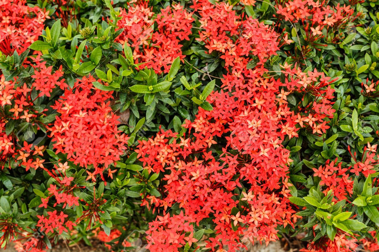 Ixora chinensis Dwarf Ixora Hedges Pinterest Dwarf and Gardens