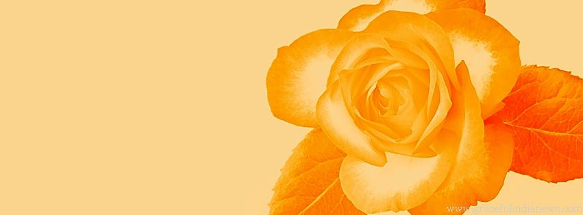 Yellow Rose Facebook Cover Yellow Roses Cover Photos Rose