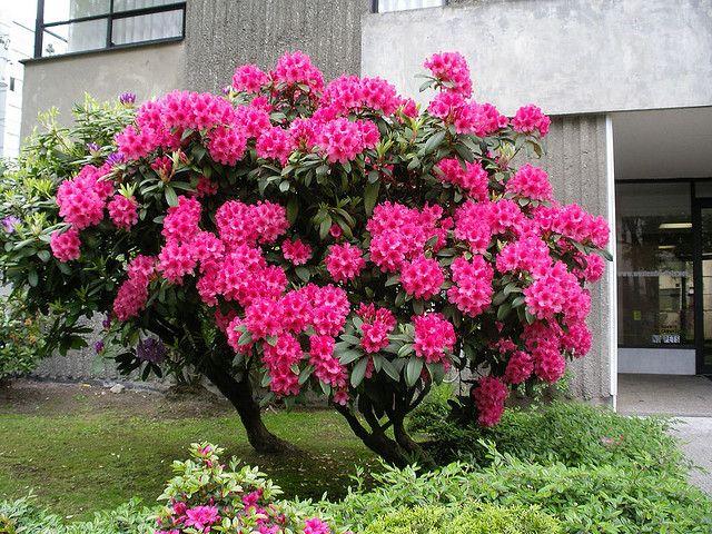 Pink Rhododendron Bush Vancouver B C Azalea Bush Garden
