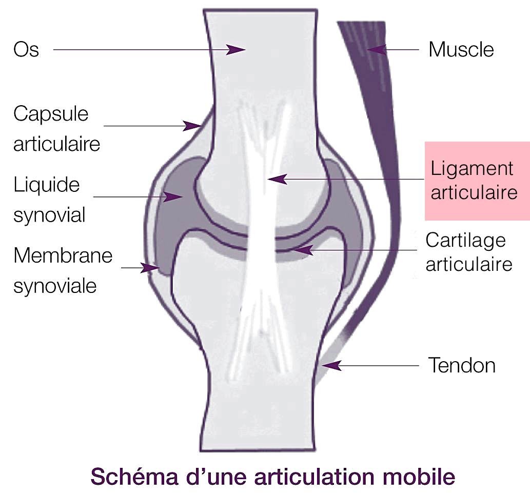 Ligament articulaire | anatomie | Pinterest | Anatomie, Gymnastik ...