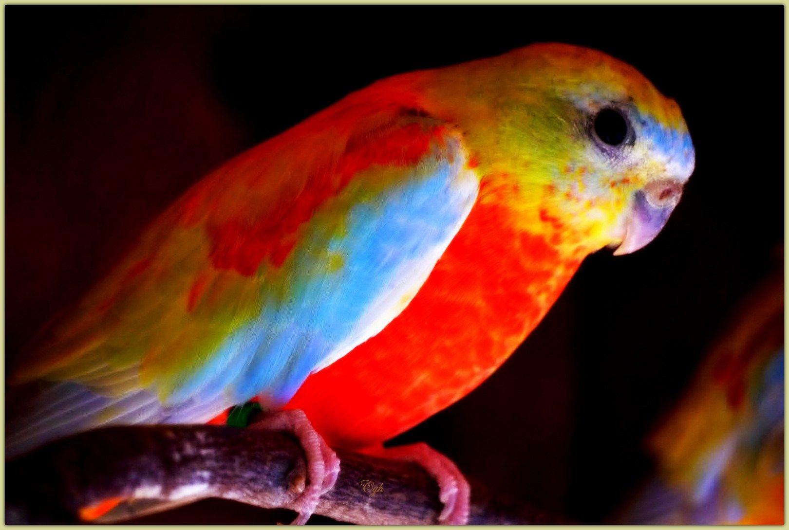 Grass parakeet!