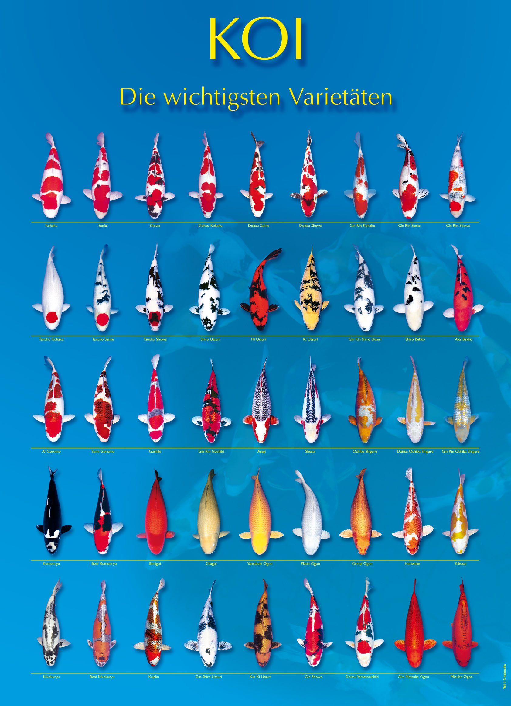 Koi fish color chart yy19830908 pinterest for Koi variety chart