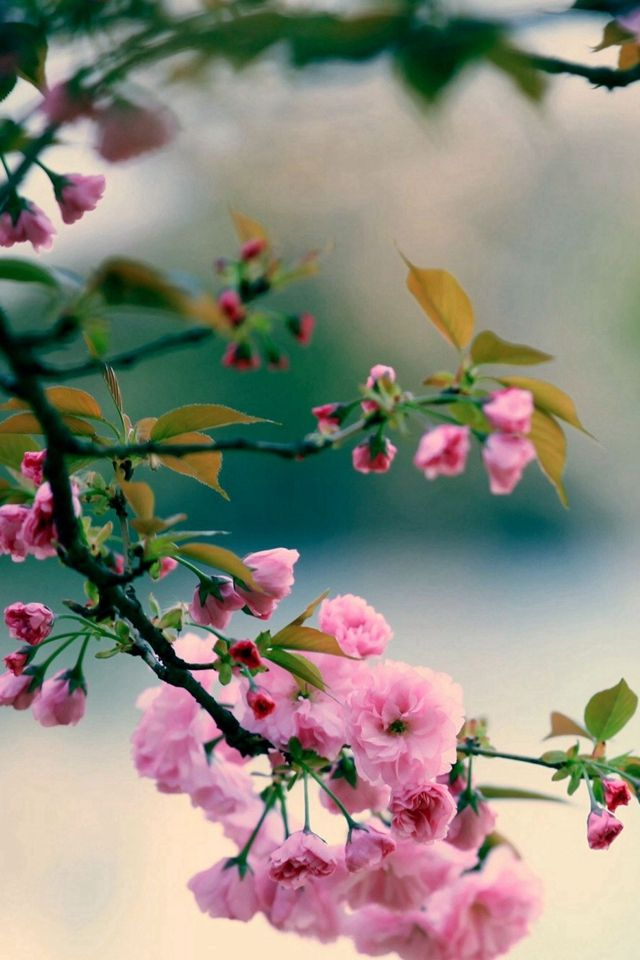 Nature Spring Plum Branch Bokeh Blur Iphone 4s Wallpaper Flowers Photography Wallpaper Wallpaper Nature Flowers Floral Wallpaper Iphone Spring wallpaper for iphone xr
