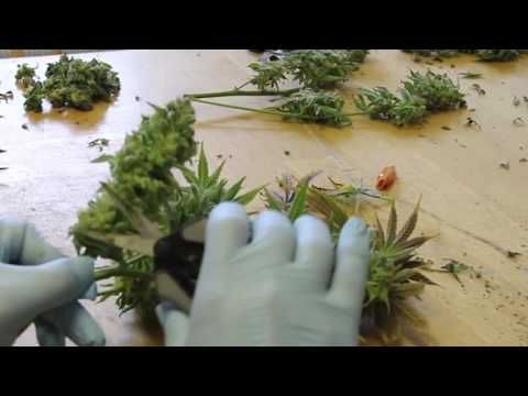 Trimming Cannabis   How to Trim Marijuana   Wet trimming   Harvesting Weed - YouTube