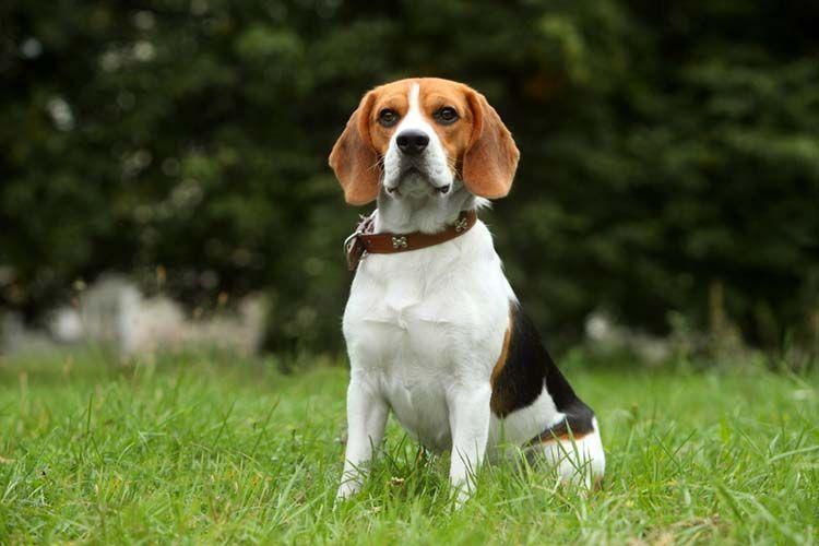 Beagle Beagle Pinterest Beagle Dogs And Puppies