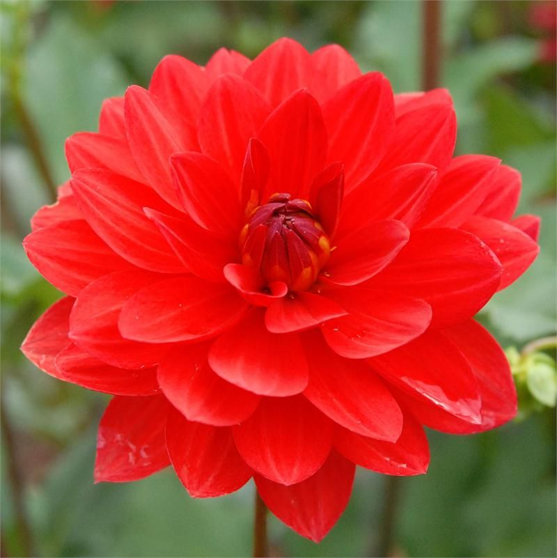 Angels Of 7a A Relatively New Red Dahlia I Ll Plant This Spring Flowers Dahlia Flower Beautiful Flowers