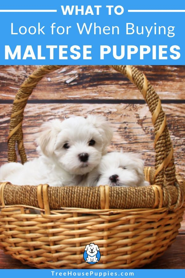 Maltese Puppies For Sale Puppies Maltese Puppies For Sale