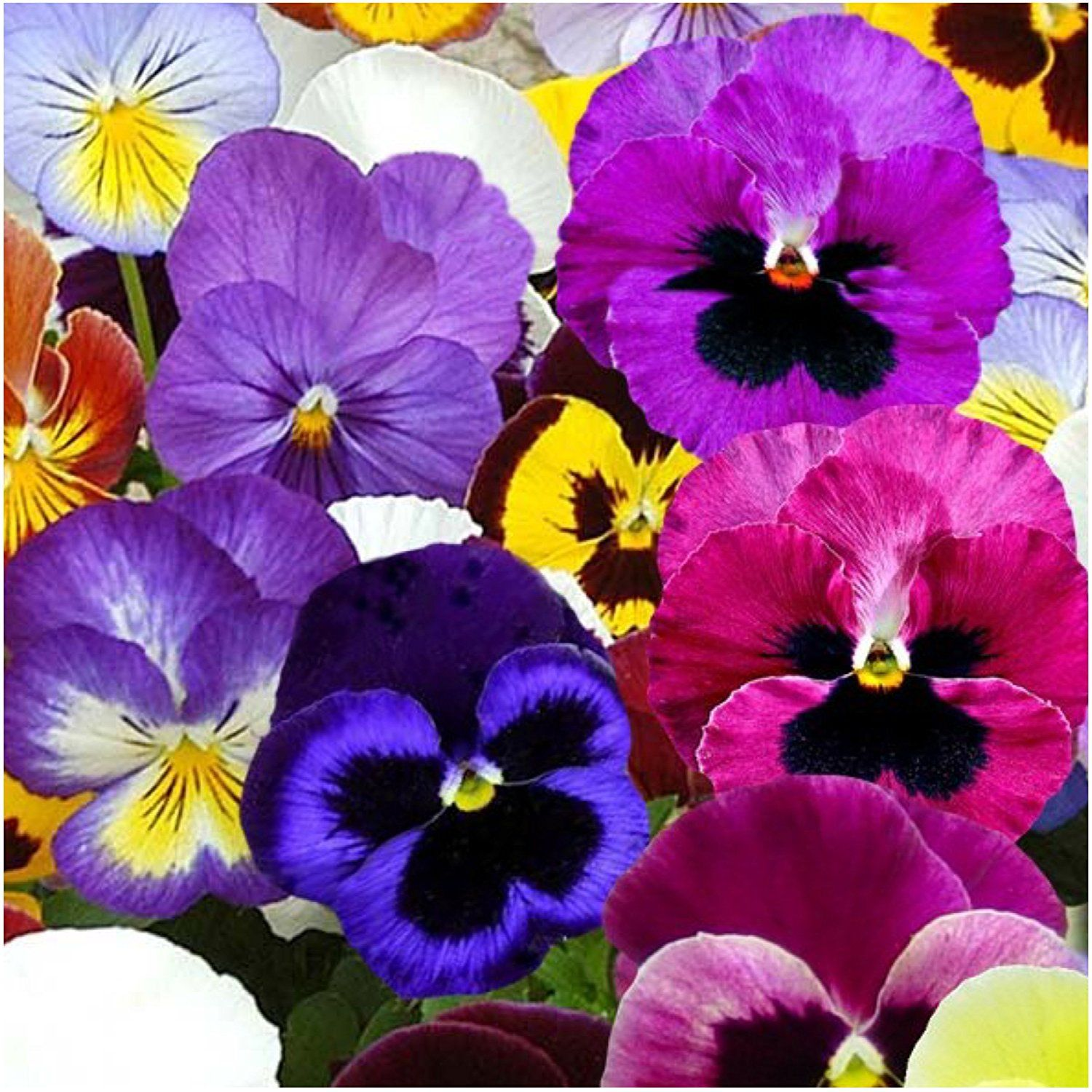 Pretty Pansies 5 Pack Special Spring Or Fall Planting Pansy Seeds Heirloom
