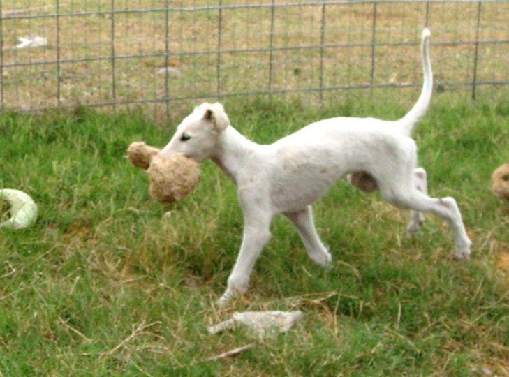 borzoi dog photo | Borzoi Puppies for Sale